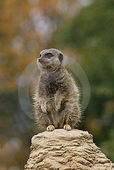 Meerkat Royalty Free Stock Images - Image: 20675999
