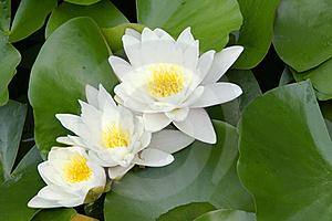 Water lily Free Stock Photo