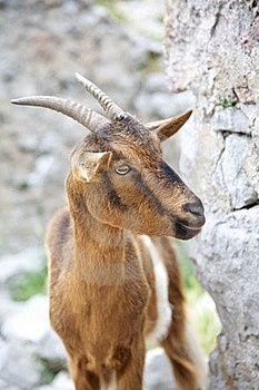 Goat At Gorge Of River Cares Stock Photo - Image: 20681950