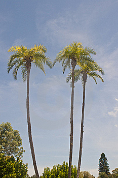 Tall Palm Trees Stock Photography - Image: 20690162