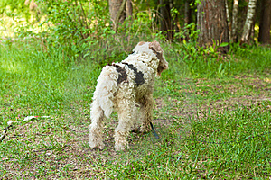 Fox Terrier Stock Photos - Image: 20691233