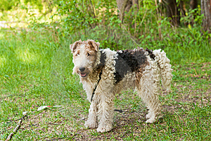 Fox Terrier Stock Photography - Image: 20691242