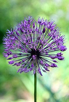 Purple Alium Flower Royalty Free Stock Images - Image: 20699169