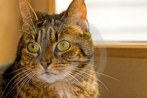 Portrait Of Brown Tabby Cat Stock Photos - Image: 2071783