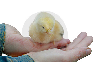 Fluffy Baby Chicken Royalty Free Stock Photos - Image: 2075578