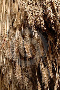 Wheat Hanging To Dry Royalty Free Stock Image - Image: 2075596
