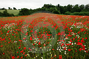 Field of poppies poppy flowers Stock Image
