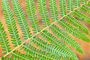 Fern Royalty Free Stock Photo - Image: 20734065