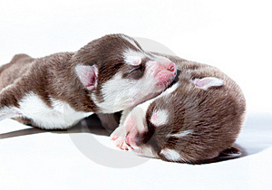 Little Puppy. Royalty Free Stock Photos - Image: 20734178