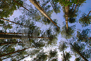 Pine Forest Trunks And Canopy Stock Image - Image: 20735211
