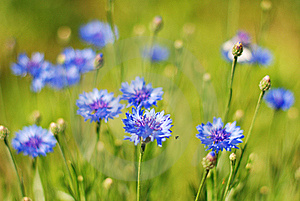 Cornflowers Stock Image