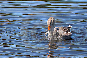 Domestic Goose Bathing Stock Photos - Image: 20766533
