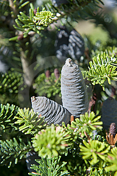 Branch With Cones Stock Photo - Image: 20769330