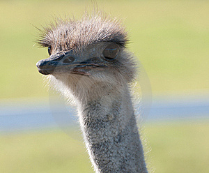 Ostrich Face Royalty Free Stock Photo - Image: 20779675