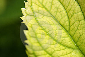 Leaf Close Up Royalty Free Stock Photography - Image: 20781957