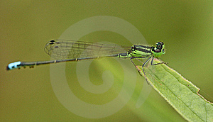 Green Damselfly Stock Photography - Image: 20784642
