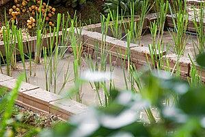 Rice Farm Royalty Free Stock Image - Image: 20792256