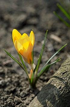 Yellow Crocus Royalty Free Stock Photos - Image: 2087508