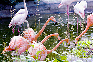 Greater Pink Flamingo Stock Photo - Image: 20802170