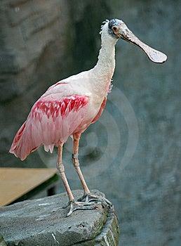 Pink Exotic Bird Royalty Free Stock Images - Image: 20803499