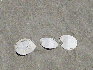 Sand Dollars On The Beach Royalty Free Stock Photography - Image: 20807677