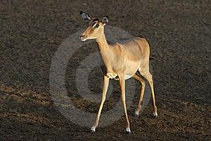 Impala Royalty Free Stock Image - Image: 20811506