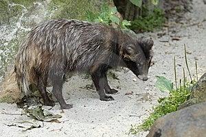 Raccoon Dog Royalty Free Stock Photos - Image: 20813328
