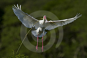 Spoonbill Nesting Royalty Free Stock Photography - Image: 20814947