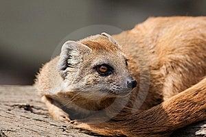 Yellow Mongoose (Cynictis Penicillata) Stock Photos - Image: 20818153