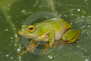 Tinker Reed Frog Stock Photography - Image: 20818422