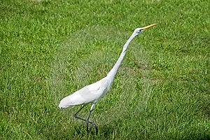 Alert Great Egret Or White Heron Walking Right Stock Image - Image: 20821281