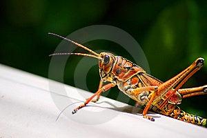 Toxic Orange Eastern Lubber Grasshopper Royalty Free Stock Image - Image: 20822656
