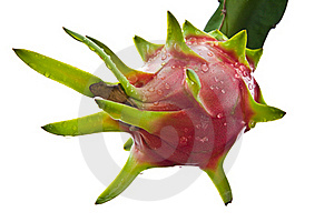 Dragon Fruit On A Tree Isolate Stock Photography - Image: 20828252