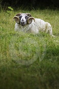 Lazy Sheep Stock Photography - Image: 20829732