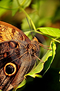 Cream Owl Buttefly Royalty Free Stock Photography - Image: 20834407