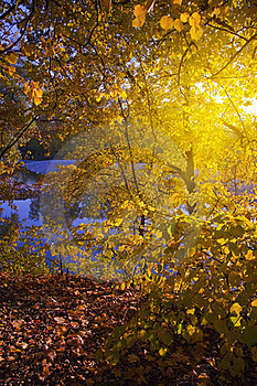 Autumn Sunny Tree Royalty Free Stock Photo - Image: 20836955