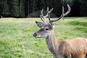 Horny Male Deer  In Mountain Landscape Stock Photos - Image: 20843333