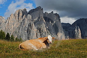 Brown Cow Rests In The Grass With Alps Background Royalty Free Stock Photos - Image: 20843368