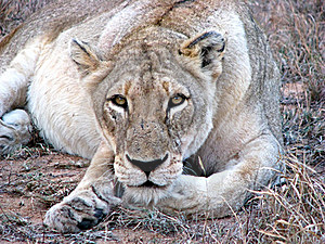 Lioness Staring At Camera Stock Photo - Image: 20845300