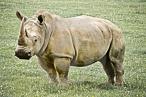 Rhinoceros Stock Photo - Image: 20852110