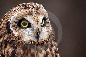 Beautiful Short-eared Owl Perching Stock Photography - Image: 20852462
