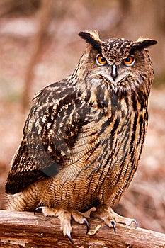 Евроазиатский сыч орла - интенсивный пристальный взгляд Стоковые Изображения