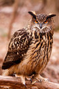 Eurasian Eagle Owl - Intense Gaze Stock Images