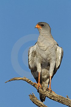 Pale Chanting Goshawk Stock Photography - Image: 20868462