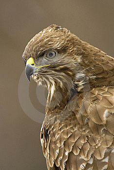 Buzzard Royalty Free Stock Photos - Image: 20887998