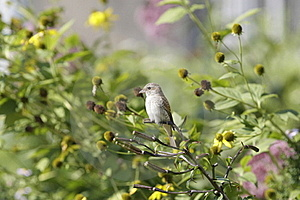Bird On Bush Branch Stock Images - Image: 20890064