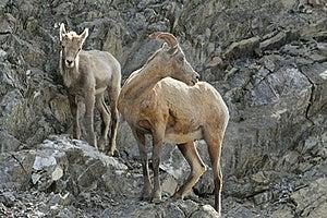 Rocky Mountain Bighorn Sheep - Ewe And Lamb Stock Photography - Image: 20892892