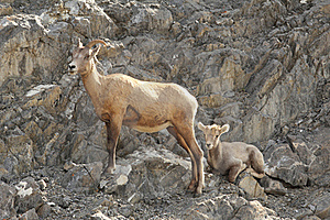 Rocky Mountain Bighorn Sheep - Ewe And Lamb Royalty Free Stock Photography - Image: 20892897