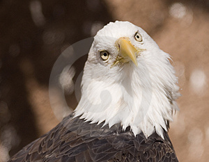 Bald Eagle Portrait (captive) Stock Photography - Image: 2093632