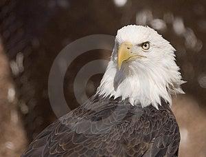 Bald Eagle Portrait (captive) Royalty Free Stock Photo - Image: 2093635